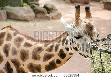 Giraffe Eating Dry Grass From Metal Basket