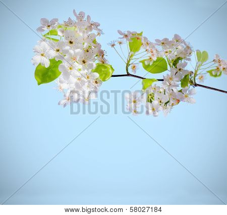 White Flowers on a Branch on a White background