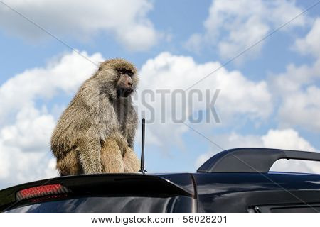Monkey On The Roof Of A Car