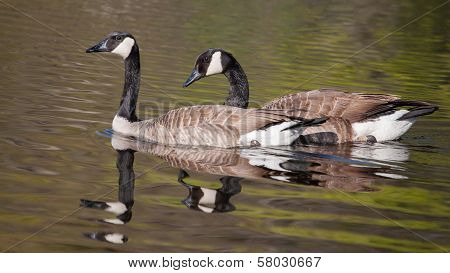 Two Canadian Geese Swimming
