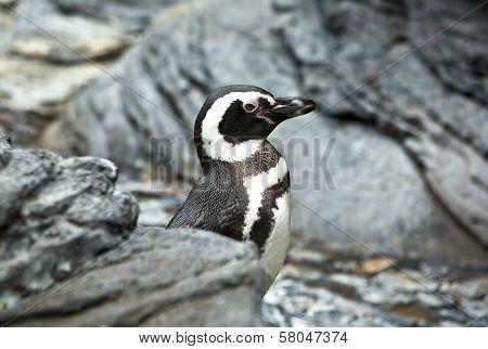 Aquarium Of Lisbon Penguin