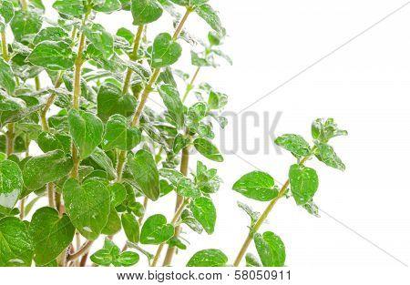 Fresh Green Za'atar (za'tar, Zaatar, Za'tar, Zatar, Zatr, Zattr, Zahatar, Zaktar Or Satar) Isolated