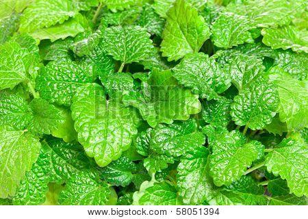 Fresh Green Melissa Background