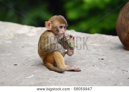 Macaque Monkey At Swayambhunath Monkey Temple