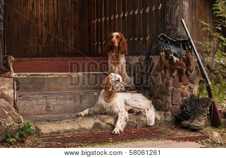 setter and spaniel with hunting bird and ammunition