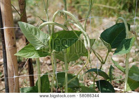 Yardlong Beans On Vine