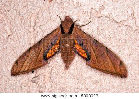 abglanzen Sphinx moth