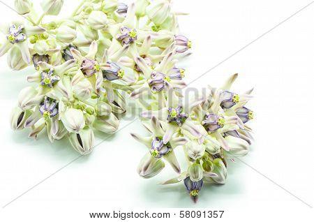 Crown Flower