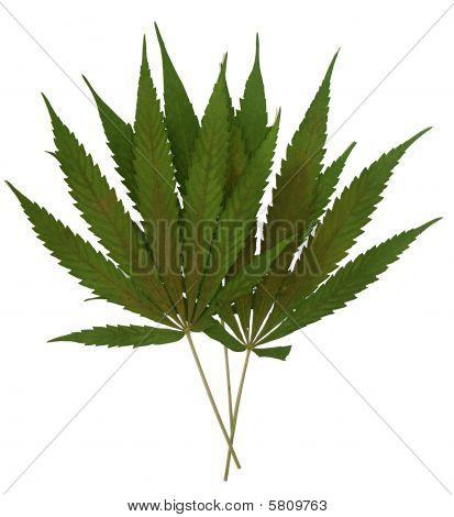 Marihuana Leaf