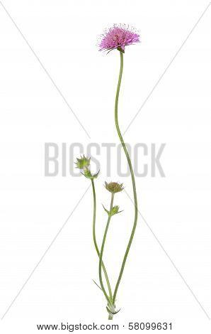 Succisa Pratensis Flower