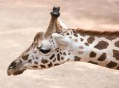 stock photo of nostril  - The giraffe  - JPG