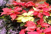 stock photo of poinsettias  - Group of Christmas red and yellow poinsettia plants in the garden - JPG