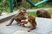 foto of macaque  - Macaque monkeys at Swayambhunath monkey temple. Kathmandu Nepal