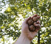 stock photo of walnut-tree  - A handful of walnuts against the leaves of a walnut tree - JPG