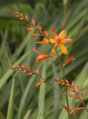 stock photo of crocosmia  - Lovely crocosmia flowers arch gracefully before a blurred backdrop of spiky leaves - JPG