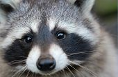 pic of raccoon  - Cute grey raccoon looking straight to the camera - JPG