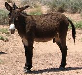 stock photo of burro  - shot of a wild burro in the mojave desert - JPG