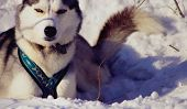 pic of siberian husky  - Siberian Husky after racing buried in snow