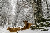 stock photo of winter trees  - Cows inside the snowy forest. High in the mountains of Navarra in Spain.