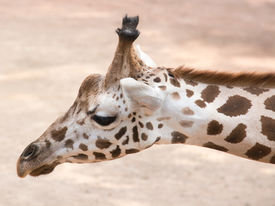 stock photo of terrestrial animal  - The giraffe  - JPG