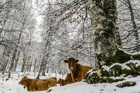 stock photo of mountain-high  - Cows inside the snowy forest. High in the mountains of Navarra in Spain. ** Note: Slight graininess, best at smaller sizes - JPG