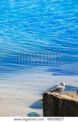Seagull at a Rock
