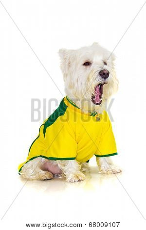 Brazilian westie dog complaining at a football brazilian team game