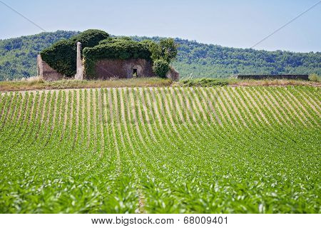 Corn Field In Provence