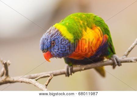 Colourful Lorikeet bird on a branch