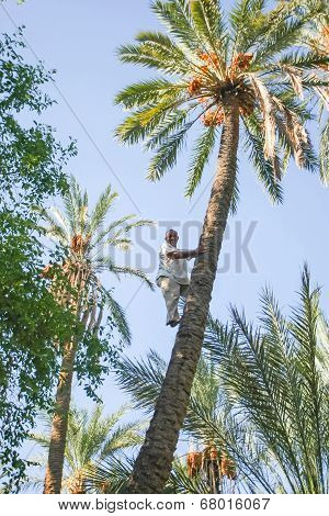 Man Climbing On Palm Tree At Oasis