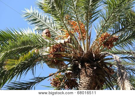 Old Man Climbing On Palm Tree In Oasis