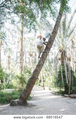 Old Man Climbing On Palm Tree In Tozeur Oasis