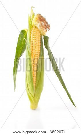 Maize crude Cob
