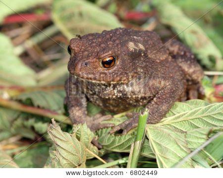Gray Toad (bufo Bufo)