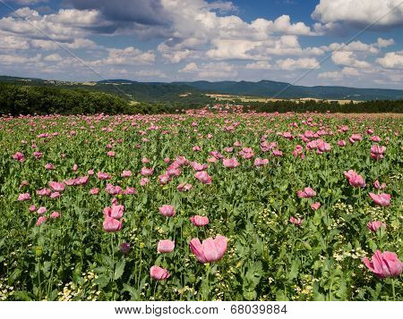 Opium Poppy Field In A Rural Landscape