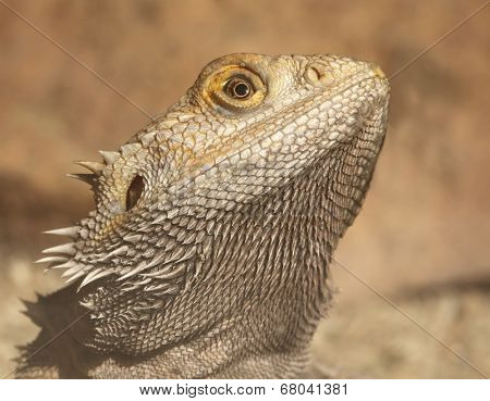 portrait of a bearded dragon.