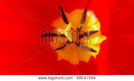 stamen of a red tulip