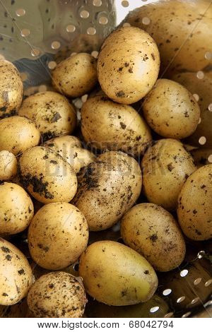 New Potato Crop