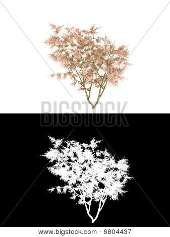 peach tree blooming isolated