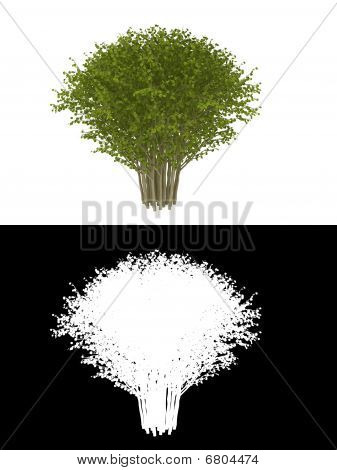 green bush isolated on white