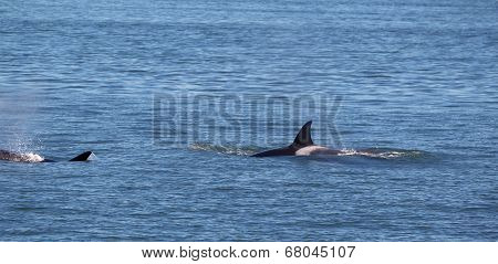 Orca Whales Within The San Juan Islands Giving Chase
