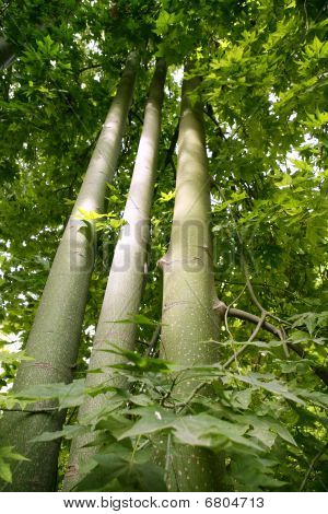 Australian tall trees in the forest