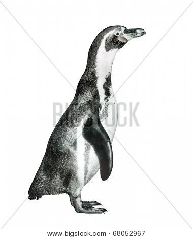The Humboldt Penguin (Spheniscus humboldti) isolated on a white.