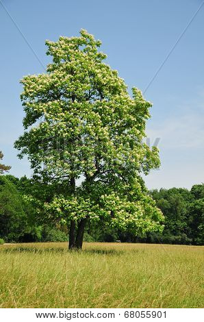 Summer landscape in the arboretum. Catalpa tree.