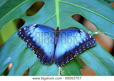 Blue Morpho butterfly perched on leaf