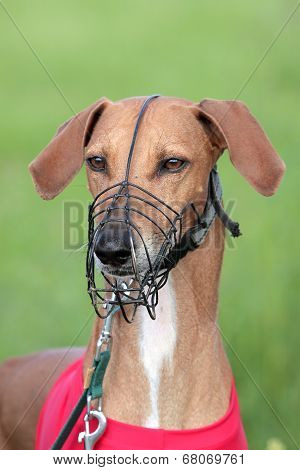 Portrait Of Sighthound Azawakh On A Green Background