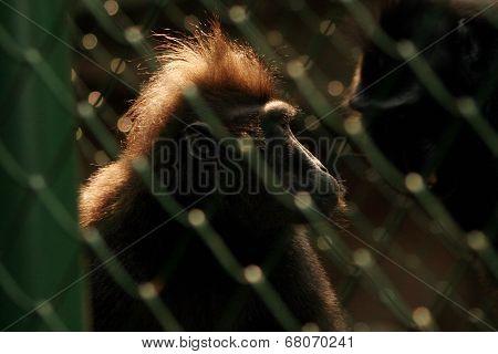 Primate in Jail