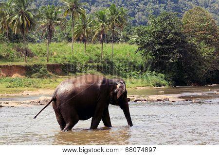Elephant in river. Take in Pinawelle, Sri Lanka