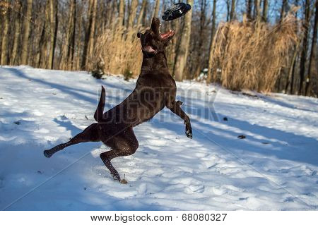 Dog catches frisbee