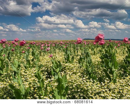 Marguerite And Pink Poppy Meadow
